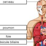 Órgãos Corporais em Francês