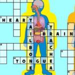 Palavras Cruzadas do Corpo Humano em inglês