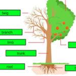 Partes da Árvore em Inglês